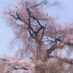 2018年桜🌸開花速報3月25日現在🌸清水寺~祇園ストリートビュー