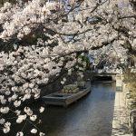 2018年桜🌸開花速報3月28日現在🌸鴨川・高瀬川(四条~三条~御池)