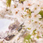 桜🌸を探しに行って来たよ〜(^^)2018.4月11日