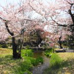 お花見穴場スポット♪「桜×京都タワー」が一緒に見れる「渉成園」